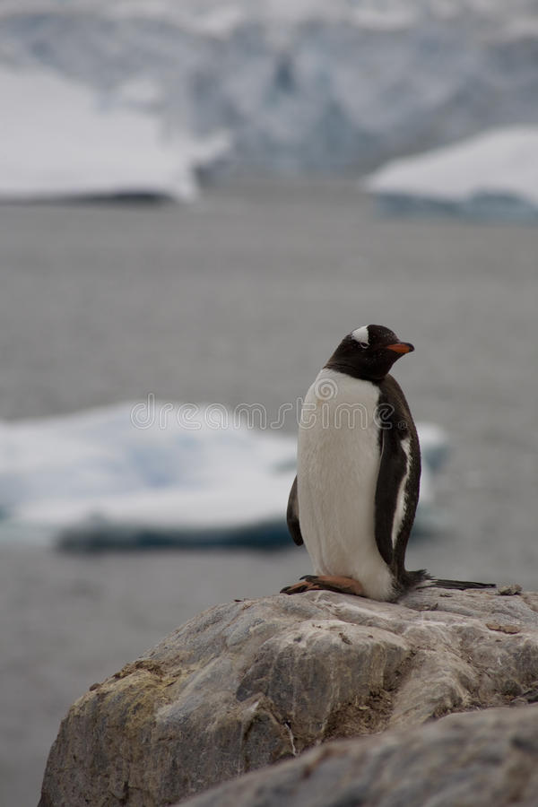 Пингвин Gentoo, Антарктика. стоковая фотография rf