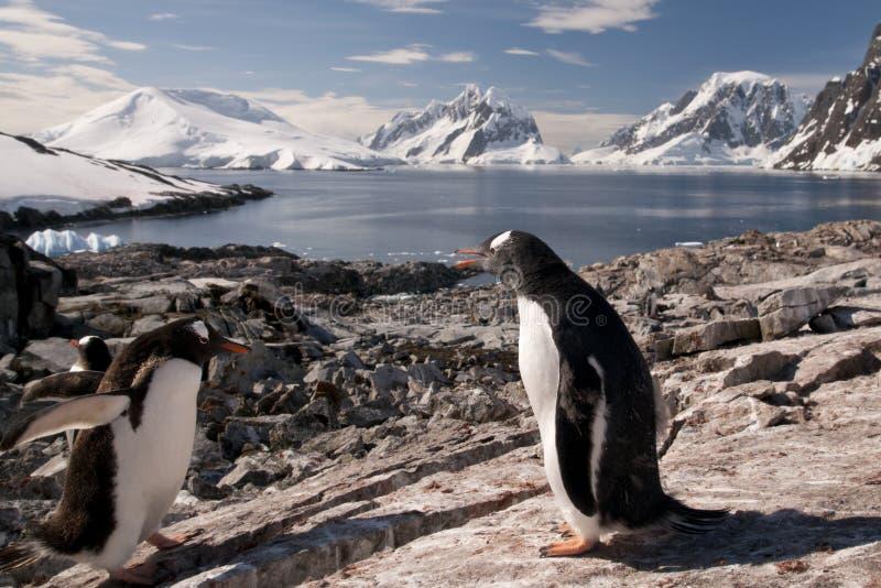 Пингвин Gentoo в Антарктике стоковые фотографии rf
