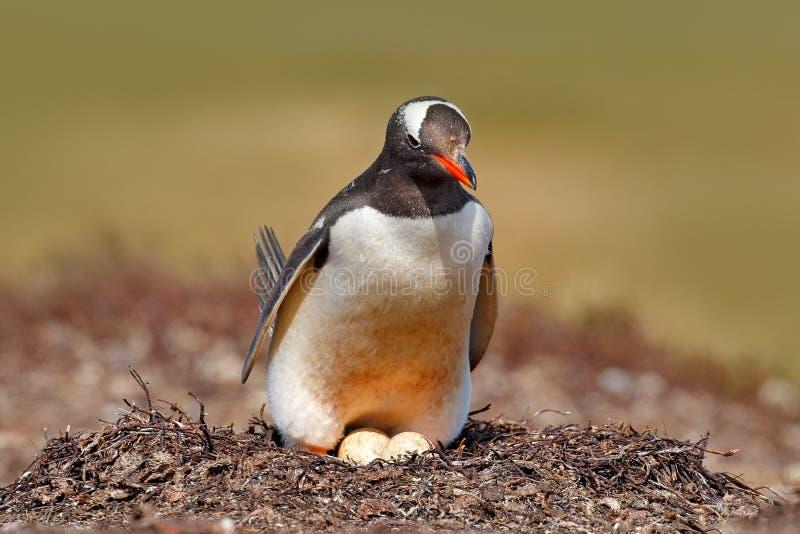 Пингвин Gentoo в яичках острословия 2 гнезда, Фолклендских островах Животное поведение, птица в гнезде с яичком Сцена живой приро стоковое изображение
