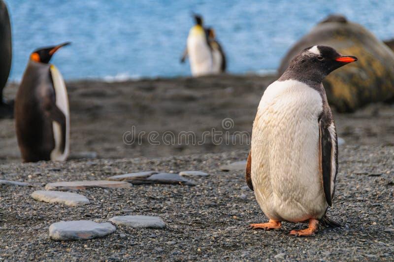 Пингвин Gentoo на острове Южной Георгии стоковые изображения
