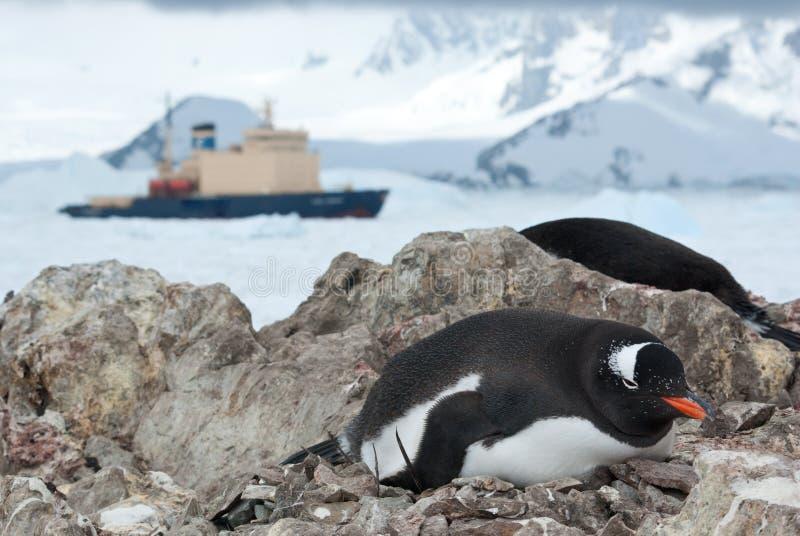 Пингвин Gentoo сидя в гнезде и ледоколе в backgro стоковое фото rf