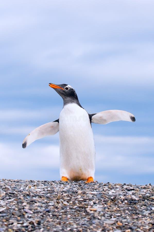 Пингвин Gentoo стоковые изображения rf
