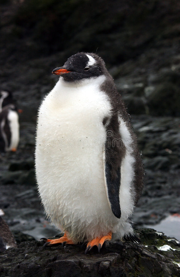 пингвин gentoo стоковая фотография