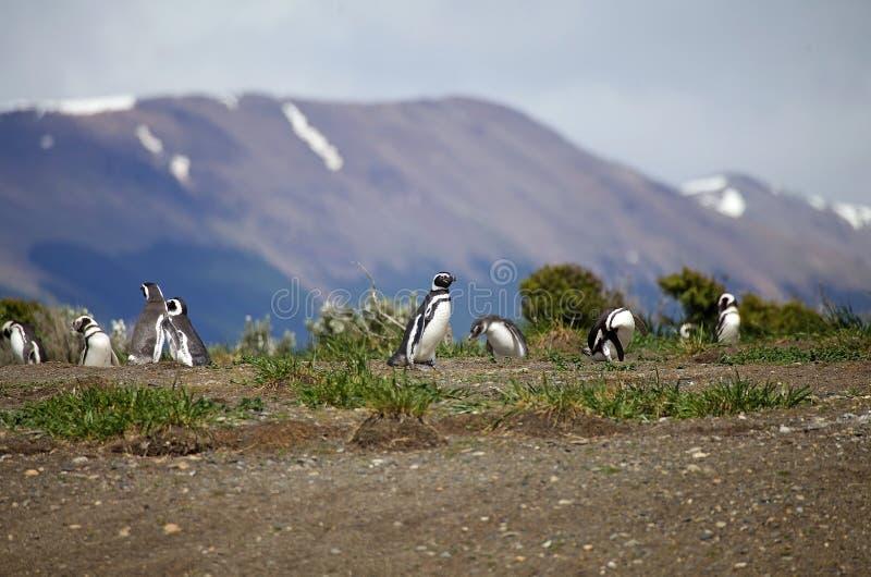 Пингвин Magellanic на пляже в острове в канале бигля, Аргентине стоковое изображение