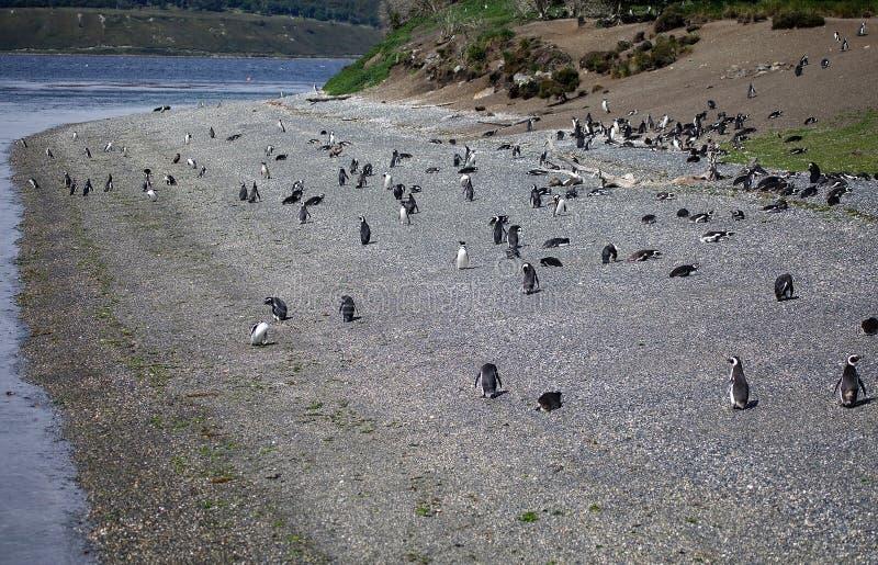 Пингвин Magellanic на пляже в острове в канале бигля, Аргентине стоковая фотография