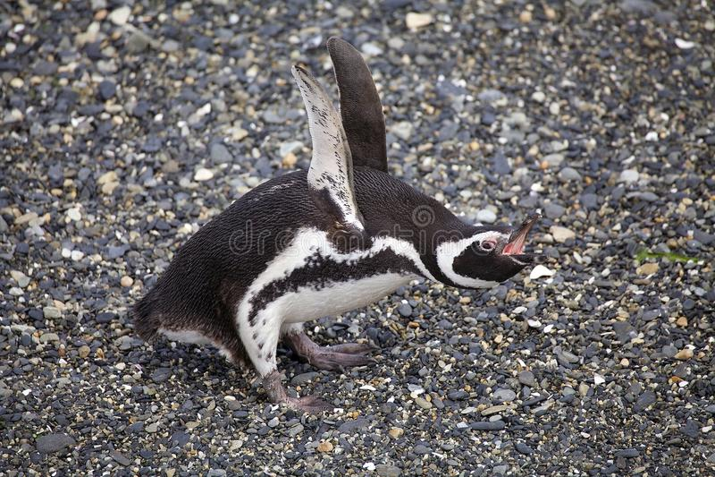 Пингвин Magellanic на пляже в острове в канале бигля, Аргентине стоковые изображения