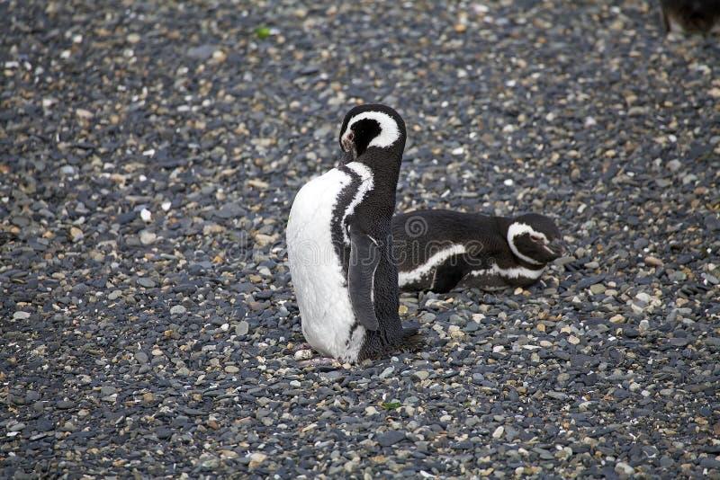 Пингвин Magellanic на пляже в острове в канале бигля, Аргентине стоковые изображения rf