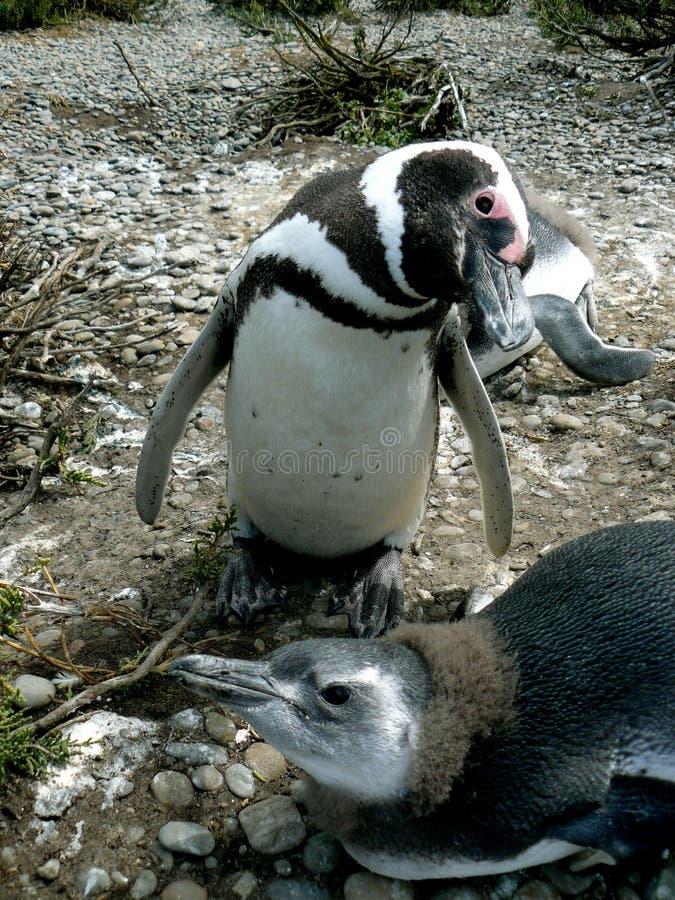 пингвин rio gallegos колонии стоковая фотография