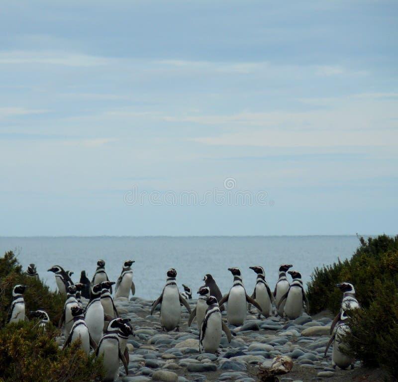 пингвин rio gallegos колонии стоковые фото