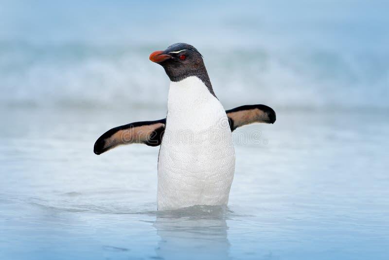 Пингвин Rockhopper, chrysocome хохлатого пингвина, плавая в воде, волны полета вышеуказанные Черно-белая птица моря, остров морсо стоковые изображения