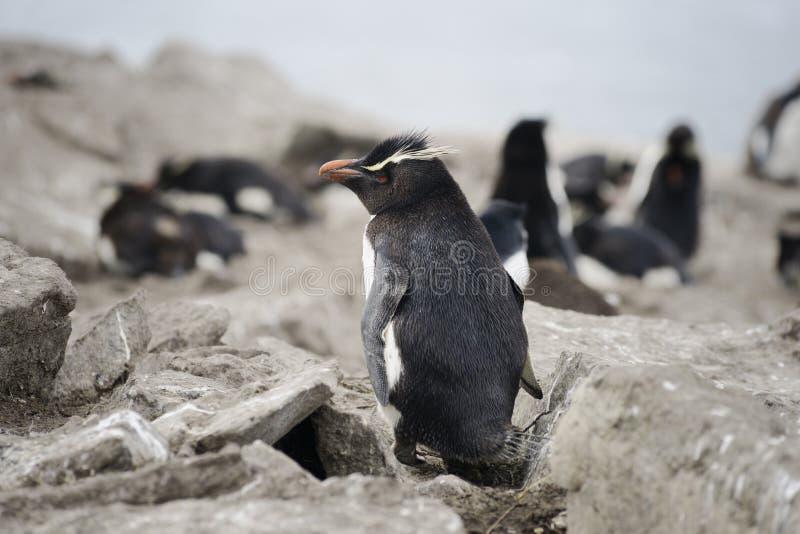 Пингвин Rockhopper (chrysocome) хохлатого пингвина, Фолклендские острова стоковые фотографии rf