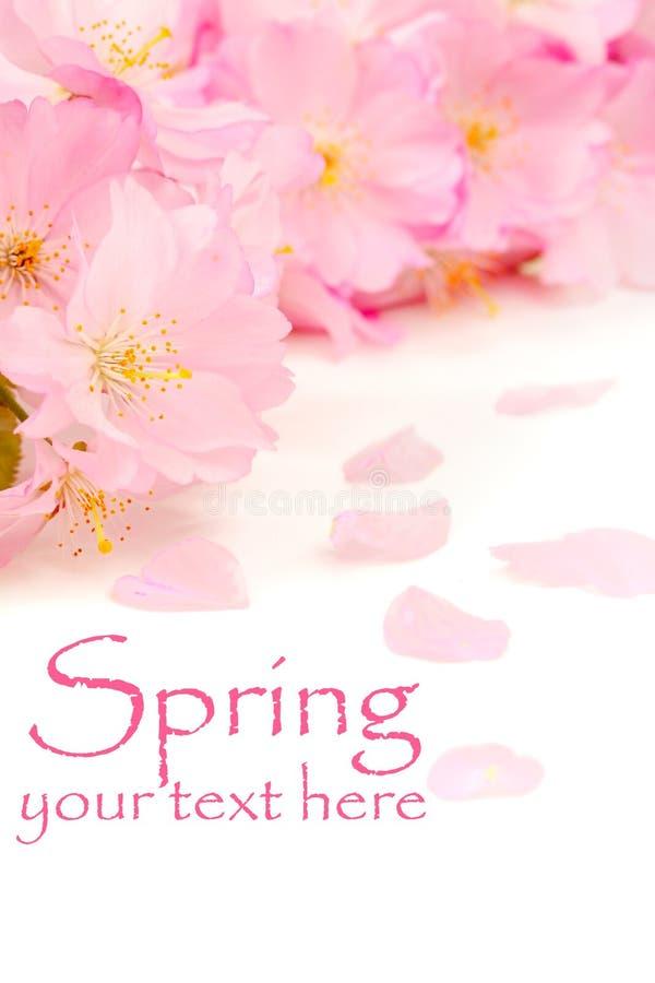 пинк вишни цветений стоковая фотография rf