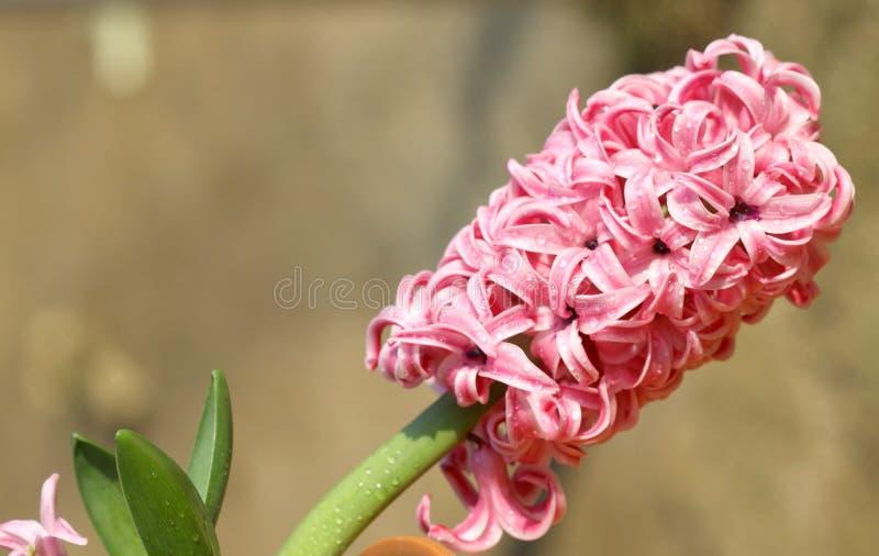 пинк гиацинта цветка стоковые фотографии rf