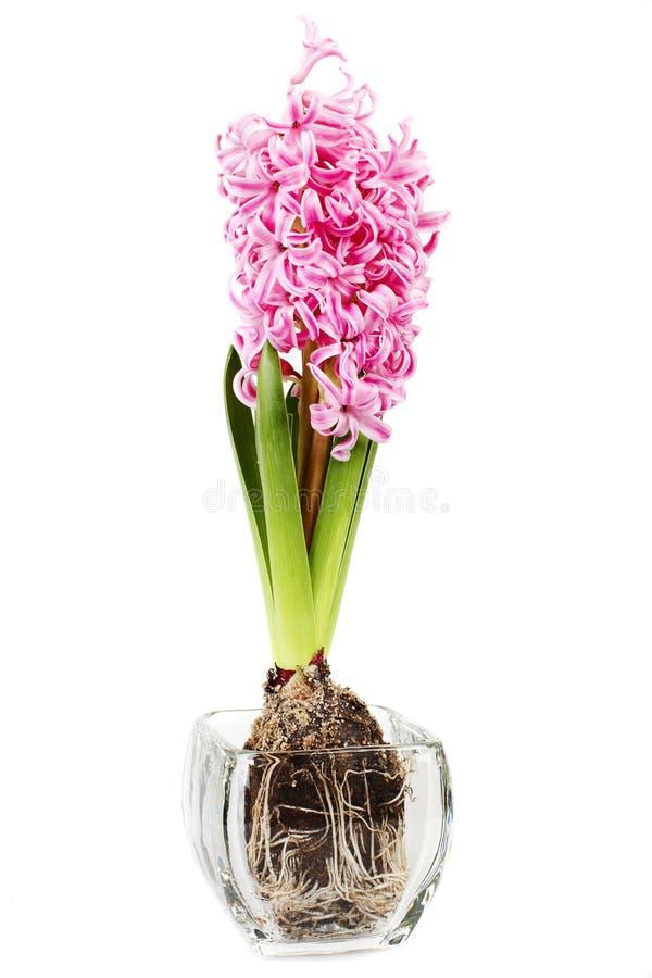 пинк гиацинта цветка стоковые изображения rf