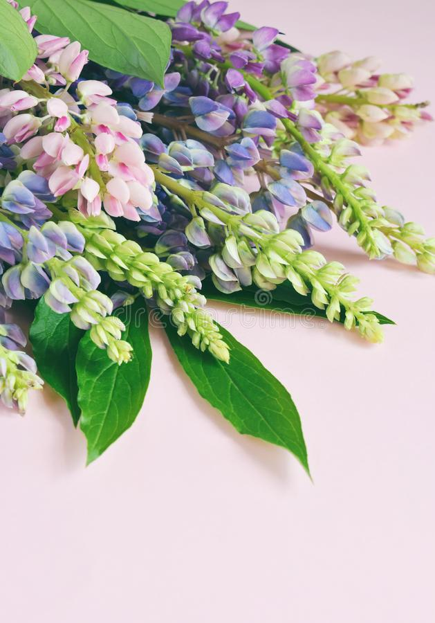 Пинк и пурпурные lupine цветки на розовой предпосылке День ` s дня рождения, матери, ` s валентинки карточка дня, 8-ое марта, сва стоковое изображение