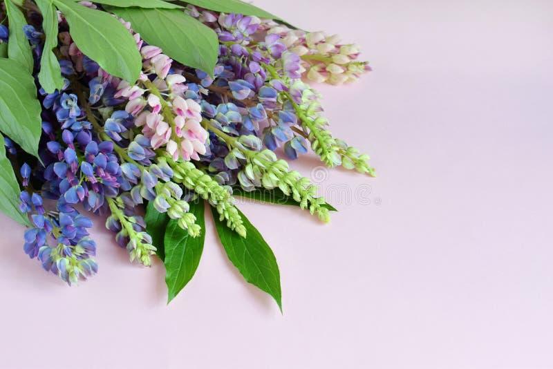 Пинк и пурпурные lupine цветки на розовой предпосылке День ` s дня рождения, матери, ` s валентинки карточка дня, 8-ое марта, сва стоковое изображение rf