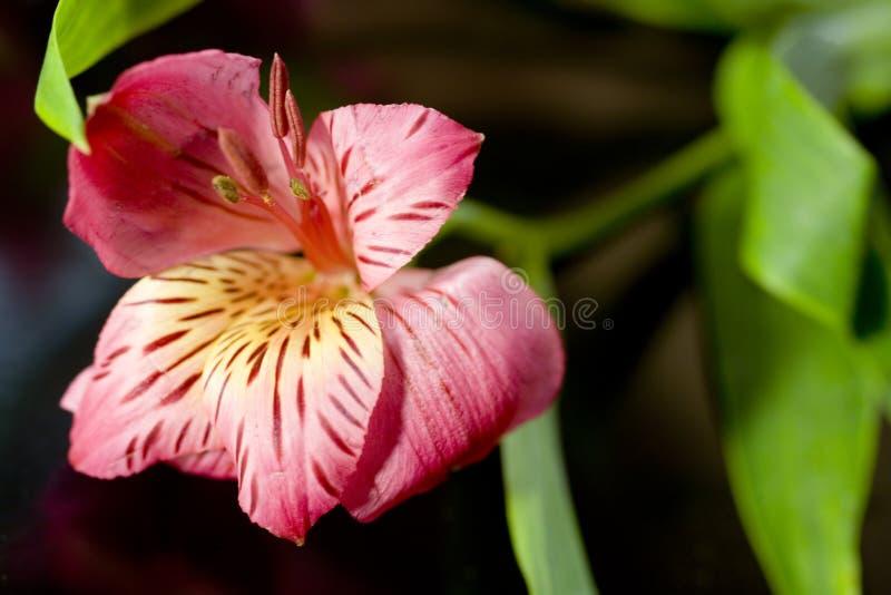 пинк лилии цветка цветеня стоковая фотография