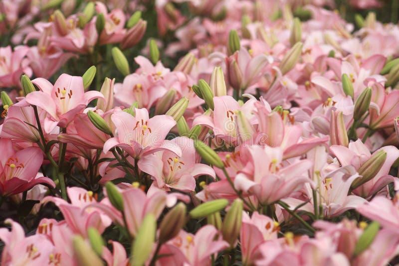 пинк лужка лилии стоковая фотография