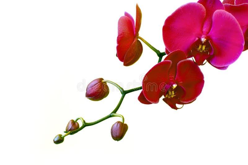пинк орхидей стоковое фото rf
