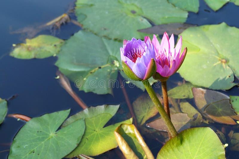 Пинк лотоса розовый и фиолетовый стоковые фотографии rf