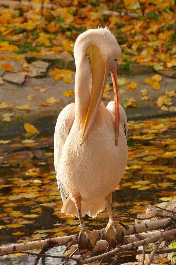пинк пеликана чистки тела стоковая фотография