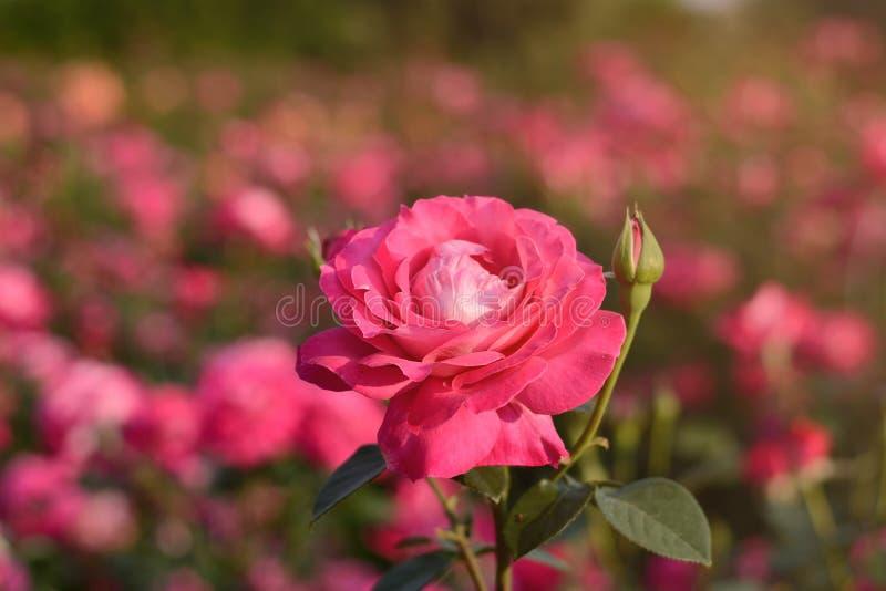 Пинк поднял цвести крупный план бутона цветка на заходе солнца на запачканном поле предпосылки роз естественной стоковая фотография