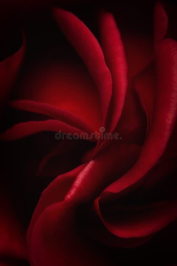 Пинк поднял цветок, конец-вверх, макрос, ключ предпосылки низкий стоковое фото rf