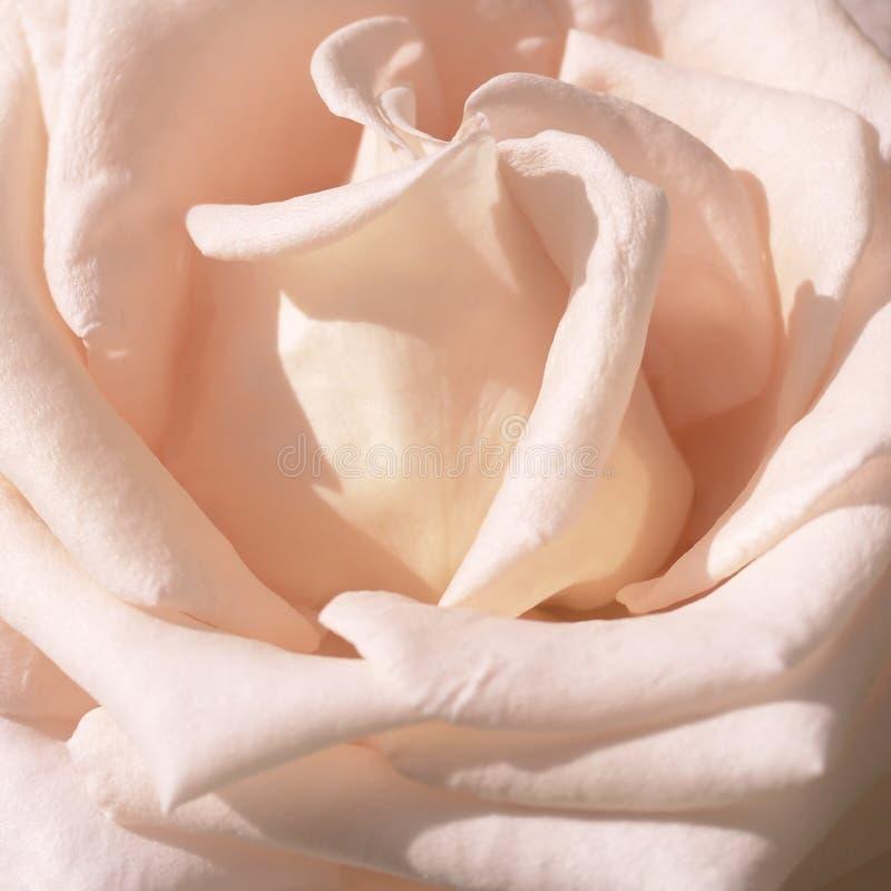 Пинк порошка поднял в открытый сад Картина цветка стоковые изображения