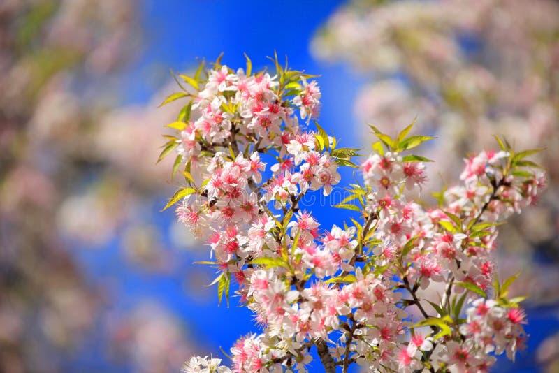 Пинк Сакура, дикий гималайский вишневый цвет с голубым небом стоковое фото rf