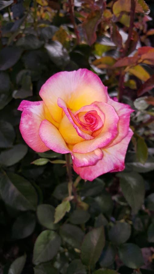 Пинк с желтым душистым гибридным чаем Розой стоковое изображение rf