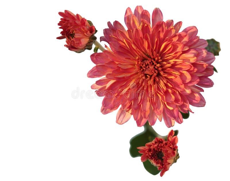 пинк хризантемы стоковое изображение rf