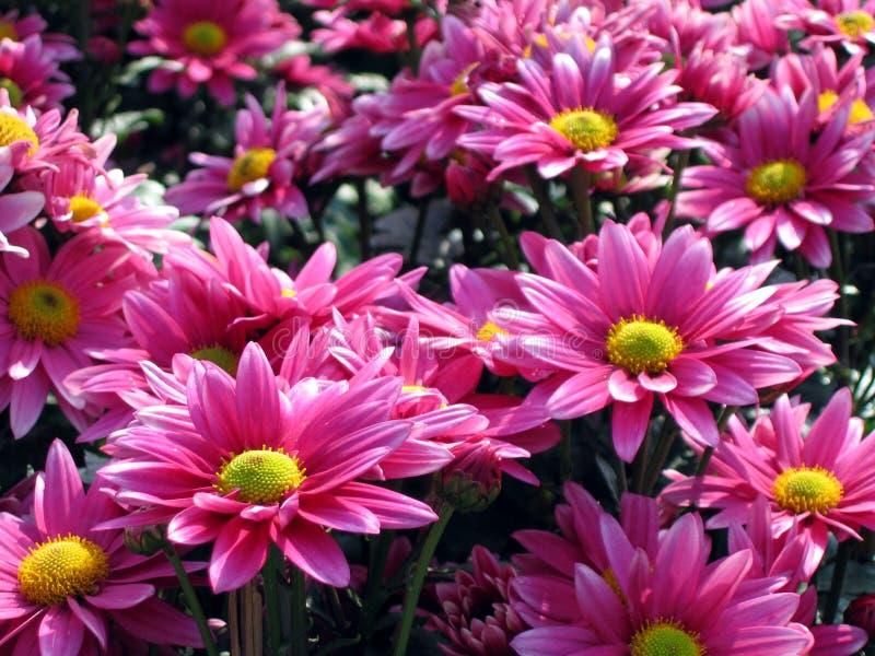 пинк хризантемы стоковая фотография