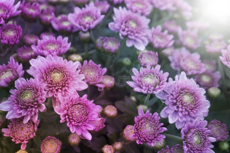 Пинк хризантемы - Multicolor стоковое изображение