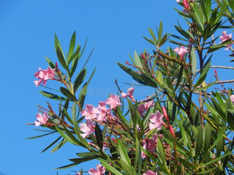 Пинк цветет верхняя часть дерева стоковое фото
