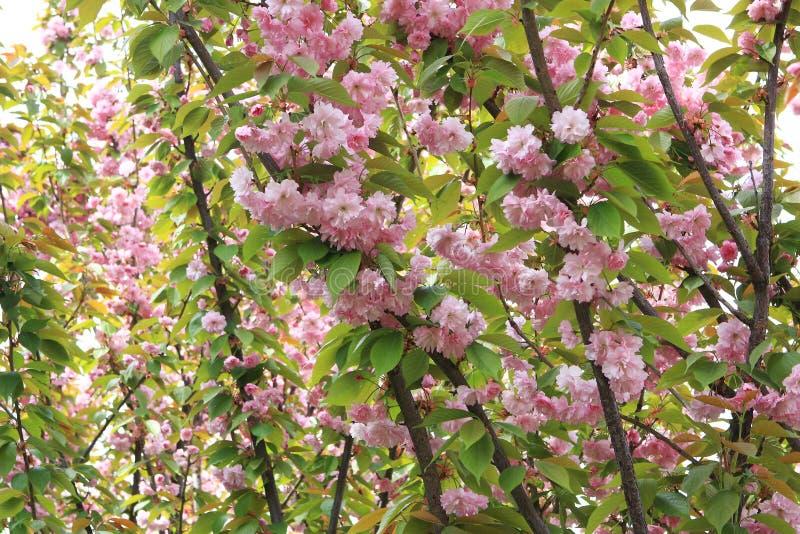 Пинк цветет дерево Сакуры декоративное стоковое фото