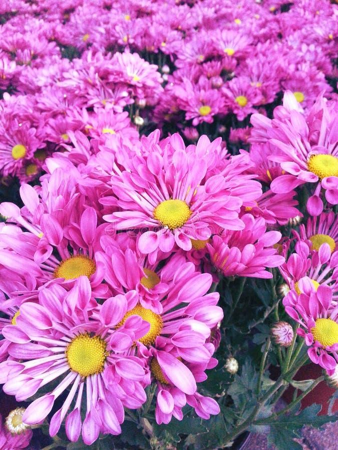 Пинк цветет красочная свежая предпосылка стоковые изображения