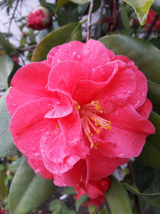 Пинк цветет падения природы воды роз стоковые изображения