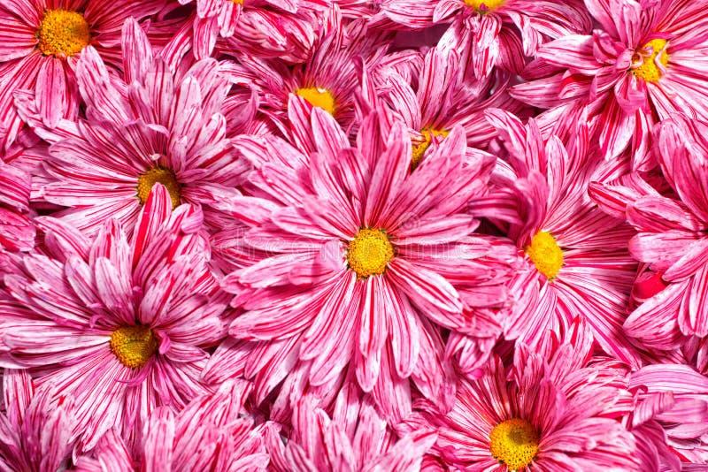 Пинк цветет предпосылка хризантем стоковые изображения