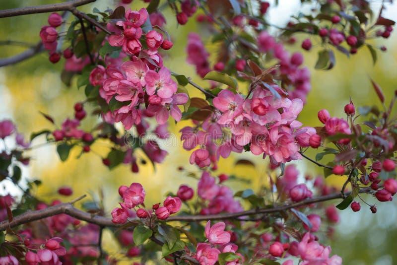 Пинк цветет яблони цветения декоративные стоковая фотография