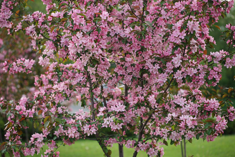 Пинк цветет яблоня цветения декоративная на предпосылке зеленого цвета природы стоковые изображения rf
