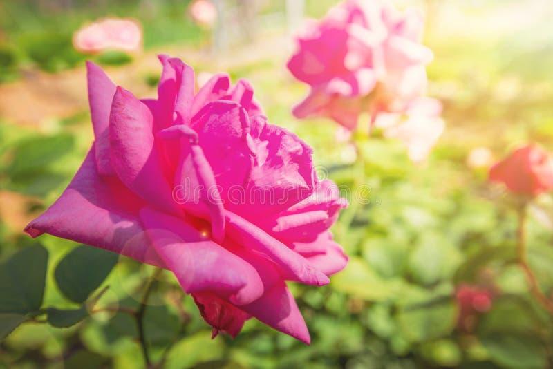 пинк цветка поднял стоковые изображения rf