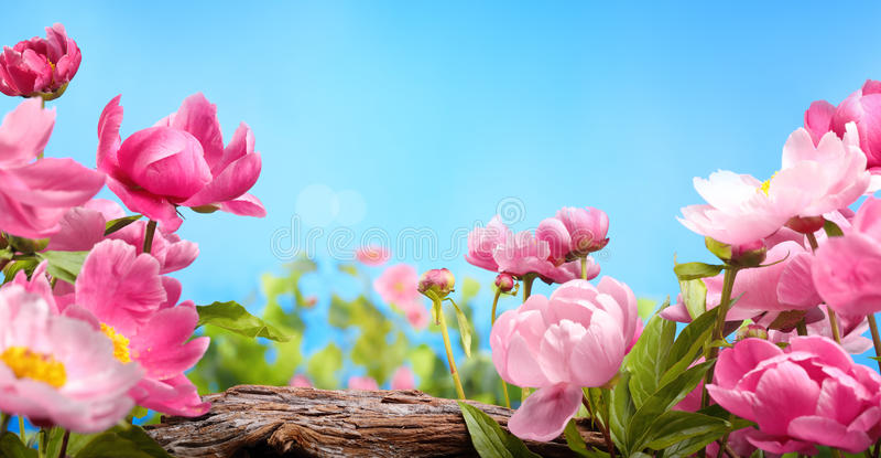 пинк цветка поднял стоковое изображение