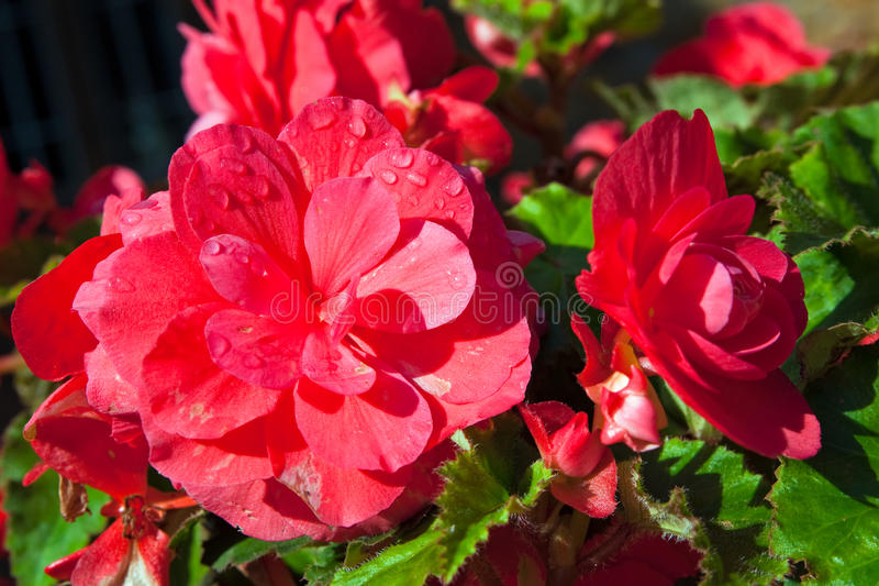 пинк цветков падений росы крупного плана бегонии стоковые изображения rf