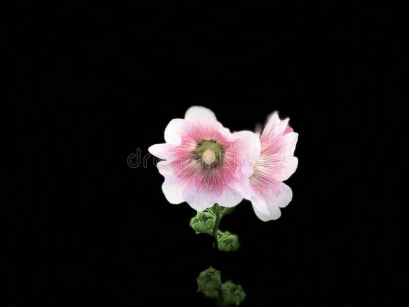 пинк цветков предпосылки черный стоковое фото