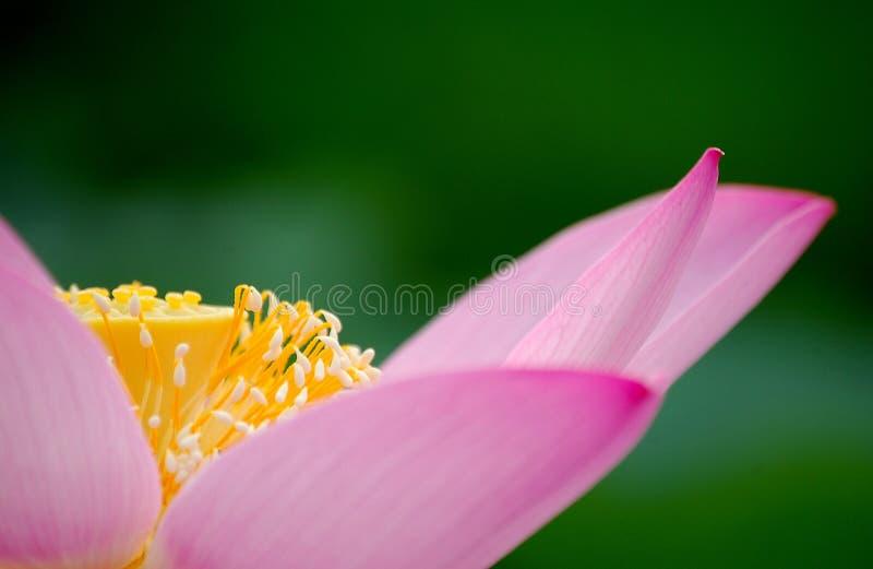пинк части лотоса цветка стоковое фото rf