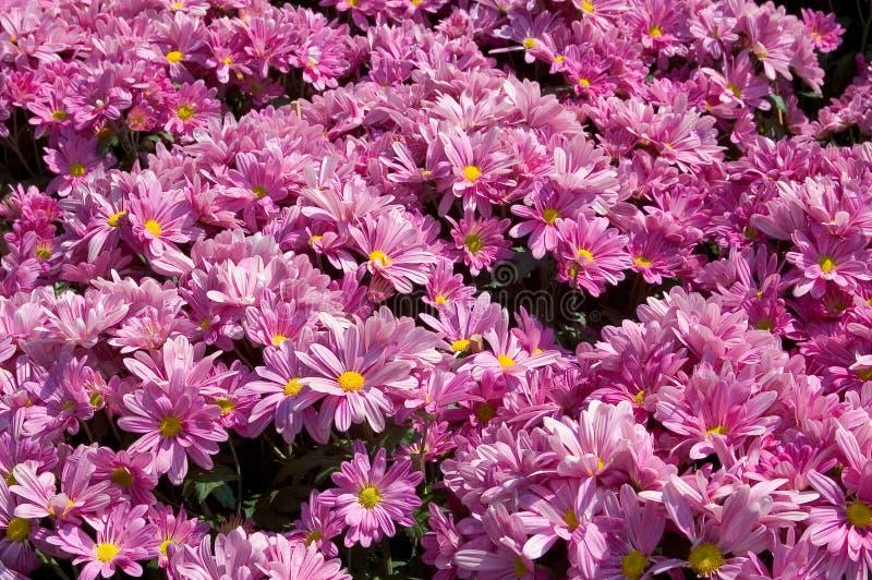 пинк flowerbed стоковые изображения rf
