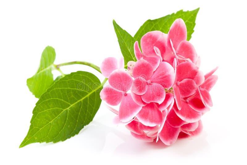пинк hydrangea цветка стоковые фотографии rf