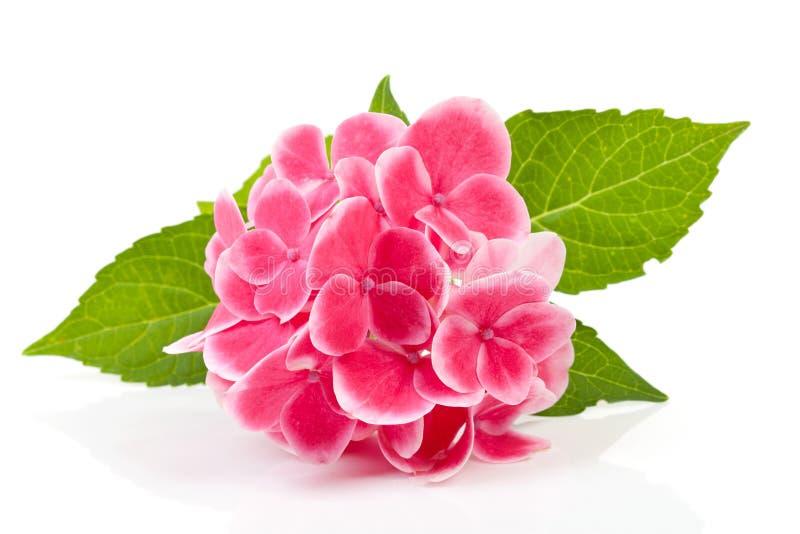пинк hydrangea цветка стоковые изображения