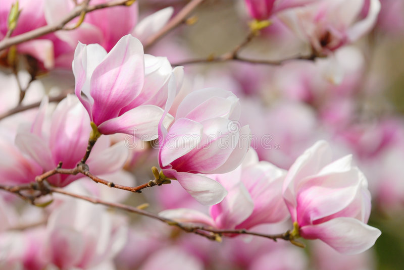 пинк magnolia цветений стоковые изображения rf