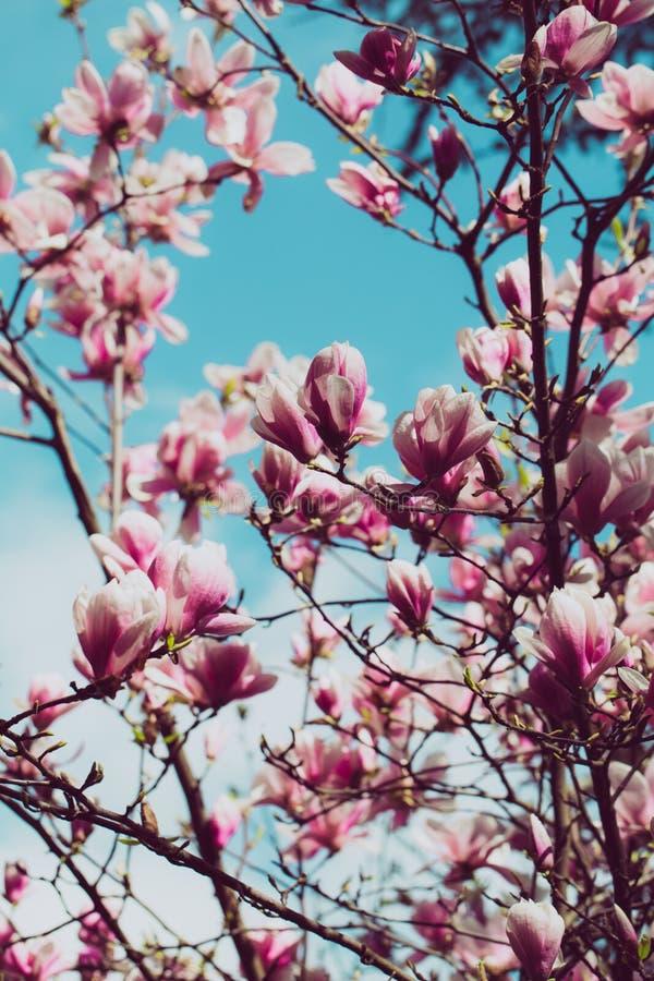 пинк magnolia цветения стоковое изображение rf